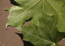 leaf, upper and lower