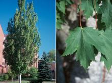 plant habit and leaf