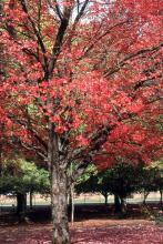 older tree, fall