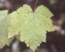 leaf, early fall