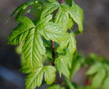 sometimes a leaf is compound (3 leaflets)
