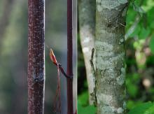 stem, spring bud and trunk