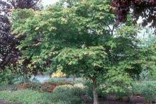 plant habit, tree