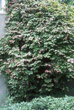 plant habit, vine