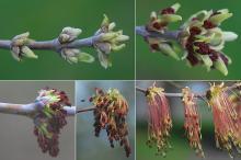 developmenf of male (pollen) flowers, spring