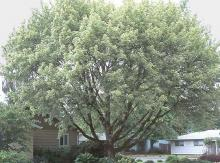 plant habit, large tree