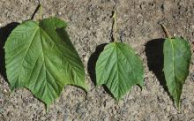 leaves, variation