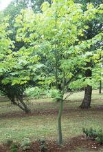 plant habit, young tree
