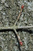 dormant twig, buds