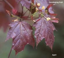 leaves, after flowering