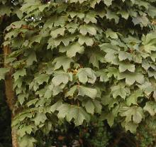 leaves, mid-summer