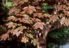leaves, mid-spring