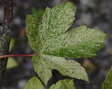 leaf, late summer