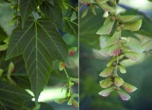 leaf and fruit cluster