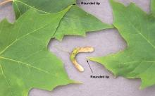 leaf lobes and fruit