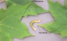 leaf lobes and fruit