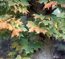 leaves, early fall