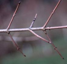 defoliated branch, winter