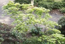 plant habit, small tree, spring