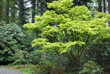 plant habit, large tree, spring
