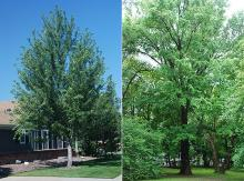 plant habit, young and old tree