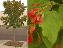 plant habit fruiting, fruit and leaf