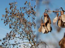 branches and fruit (seeds), winter