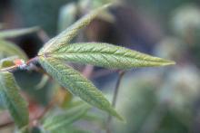 expanding leaf, spring
