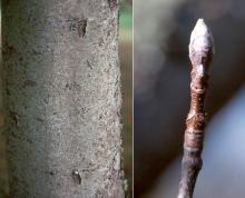 trunk, bark and winter twig, bud