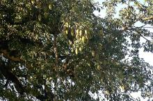canopy with developing fruit