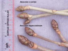 winter buds, comparison
