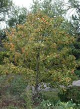 plant habit, fruiting, early fall