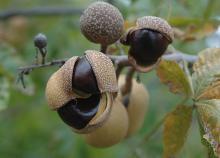 opening fruit, Sept.