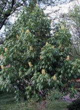 plant habit, spring flowering (Dyck Arboretum of the Plains, Hesston, KS)