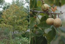 plant habit and fruit, Sept.