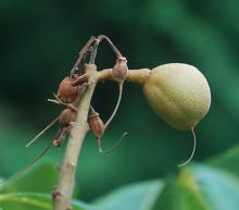 young fruit