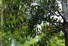 foliage, young tree