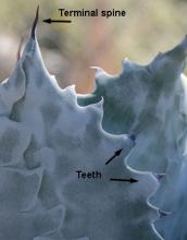 spine and teeth