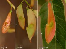 maturing fruit (seeds)