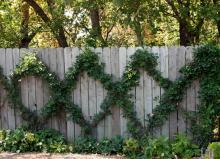 plant habit, on wire trellis