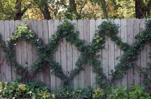 plant habit, on wire trellis (MG Display Garden, Salina, KS)