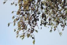 male catkins and cones, winter