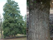 plant habit and trunk, bark
