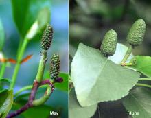 developing seed cones