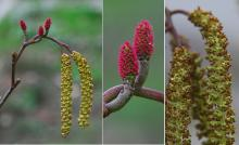 female and male catkins, spring