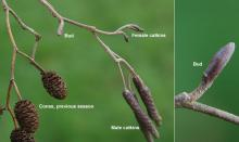 winter twigs; catkins, cones and buds