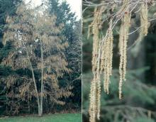 plant habit, spring flowering (catkins)
