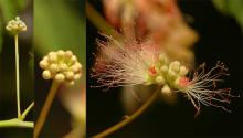 opening flower cluster