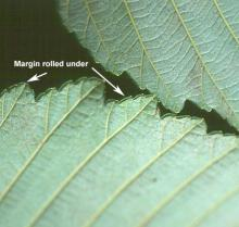 leaf margin