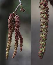 male catkins, near pollen release